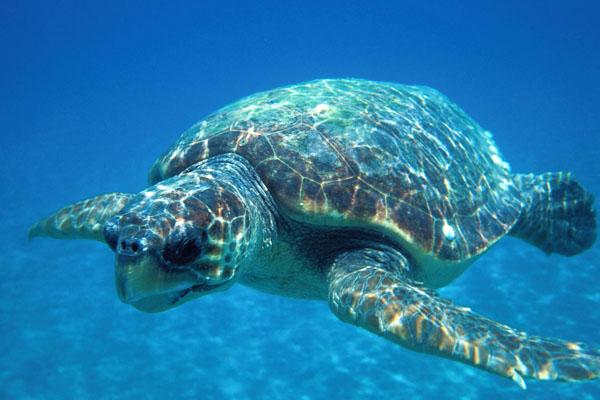 Caretta caretta, Tartaruga marina, immagine subacquea.